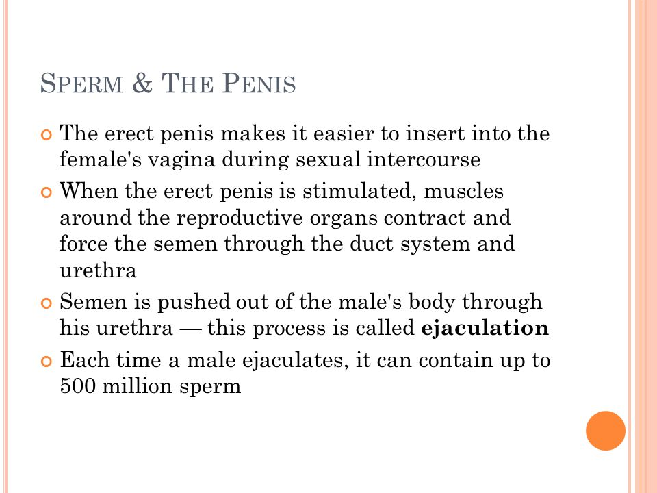 Sperm & The Penis The erect penis makes it easier to insert into the female s vagina during sexual intercourse.