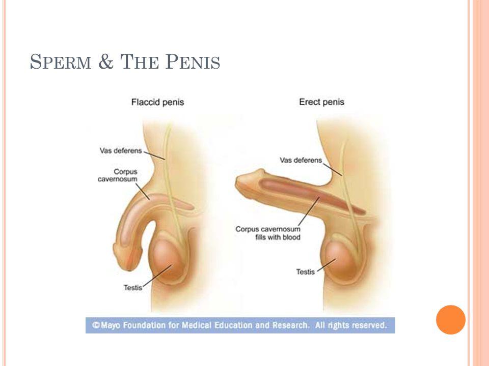 Sperm & The Penis