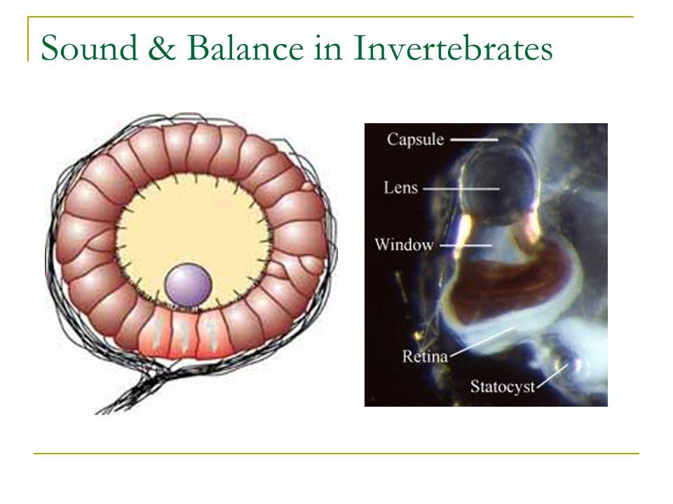 Sound & Balance in Invertebrates