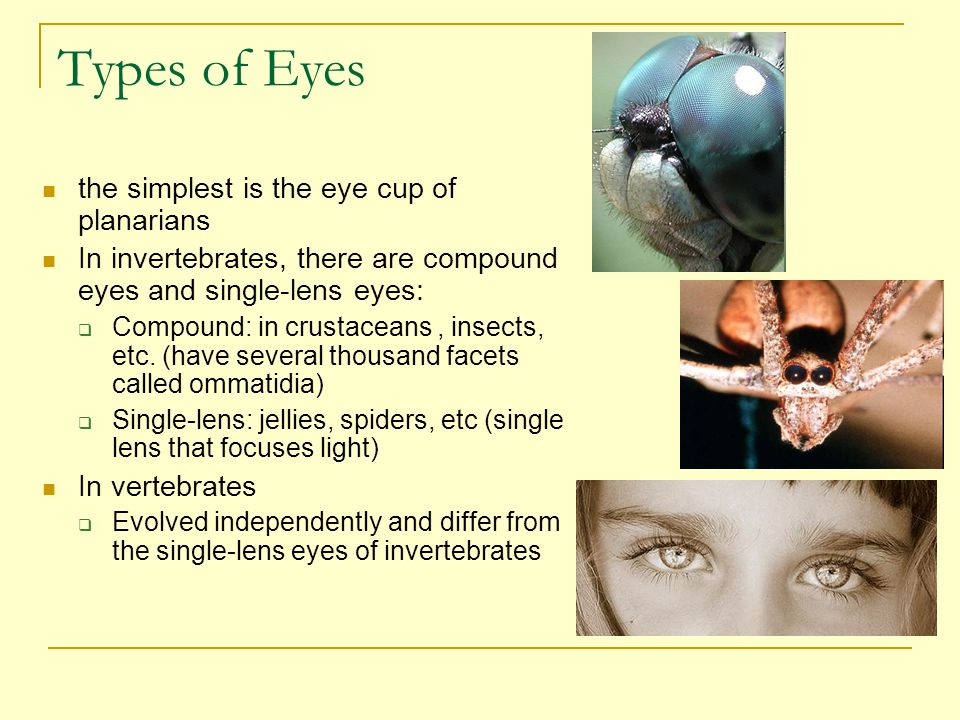 Types of Eyes the simplest is the eye cup of planarians
