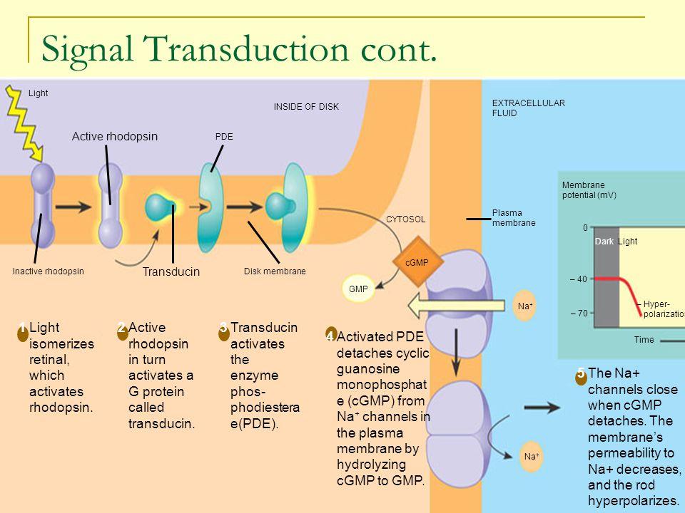 Signal Transduction cont.