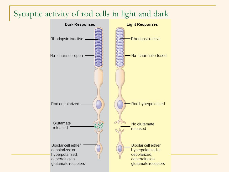 Synaptic activity of rod cells in light and dark
