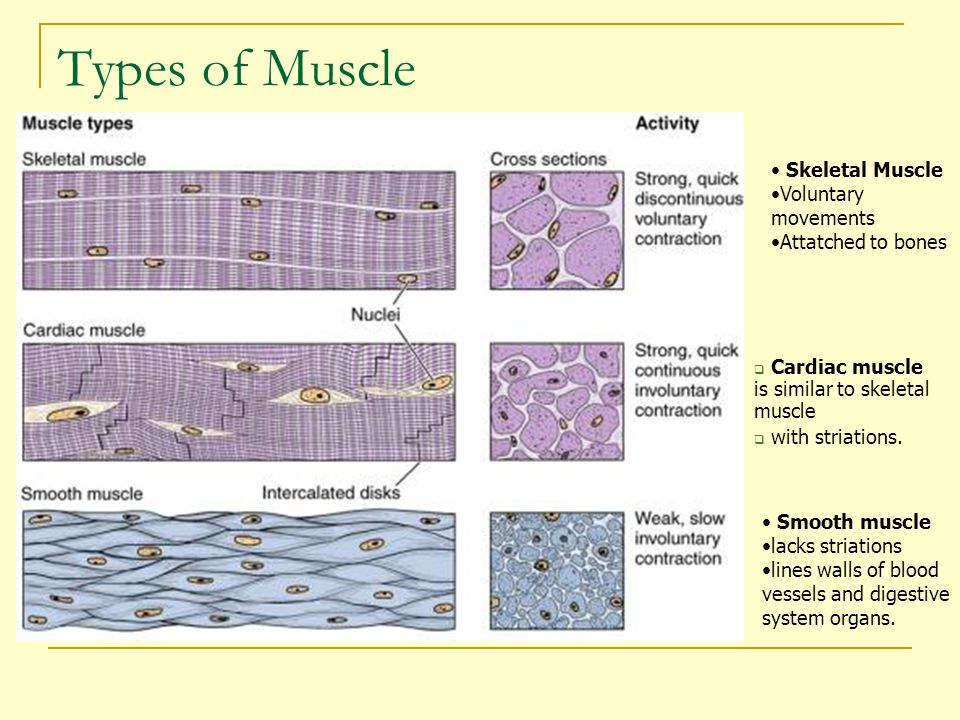 Types of Muscle Skeletal Muscle Voluntary movements Attatched to bones