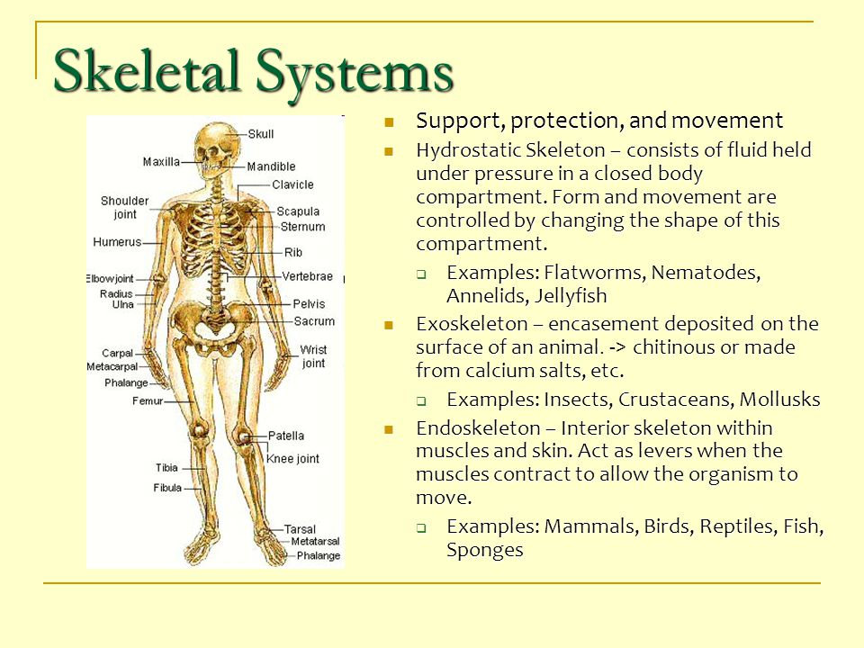 Skeletal Systems Support, protection, and movement