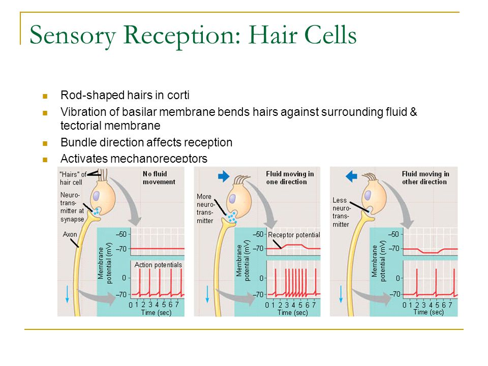 Sensory Reception: Hair Cells