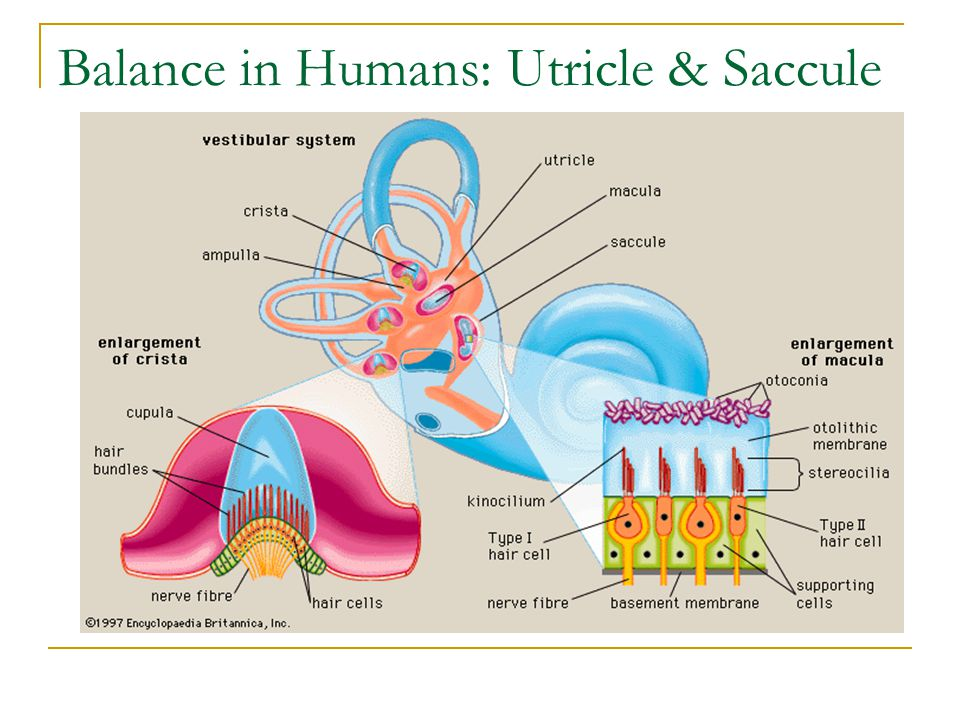 Balance in Humans: Utricle & Saccule