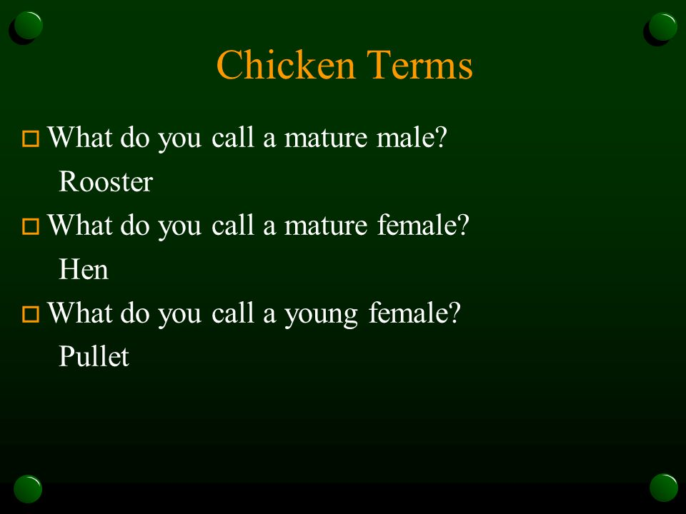 Chicken Terms What do you call a mature male Rooster