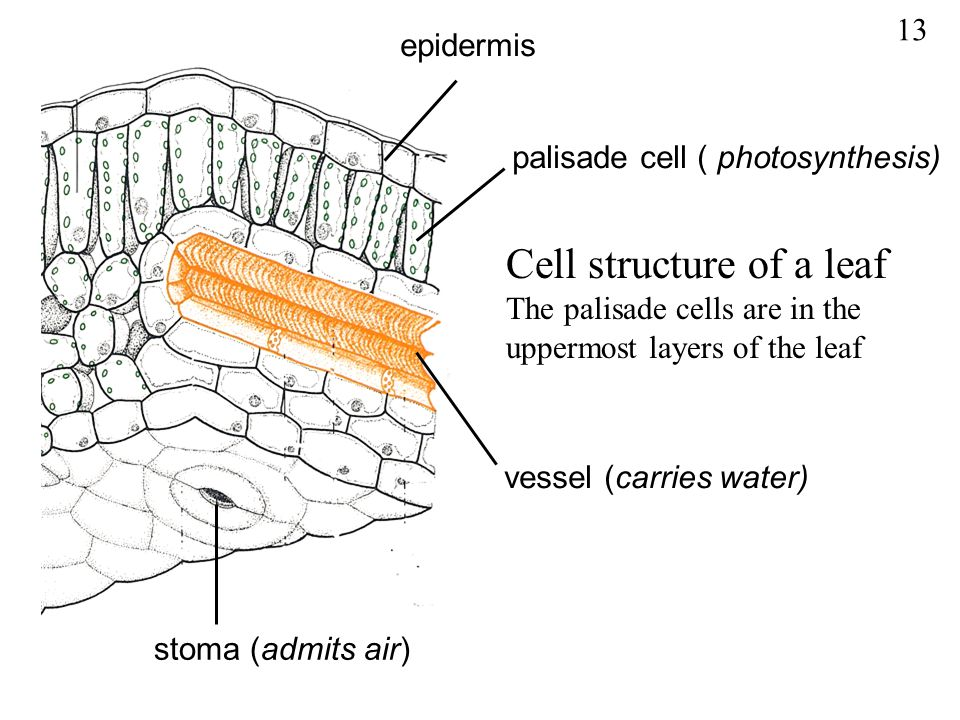 Cell structure of a leaf