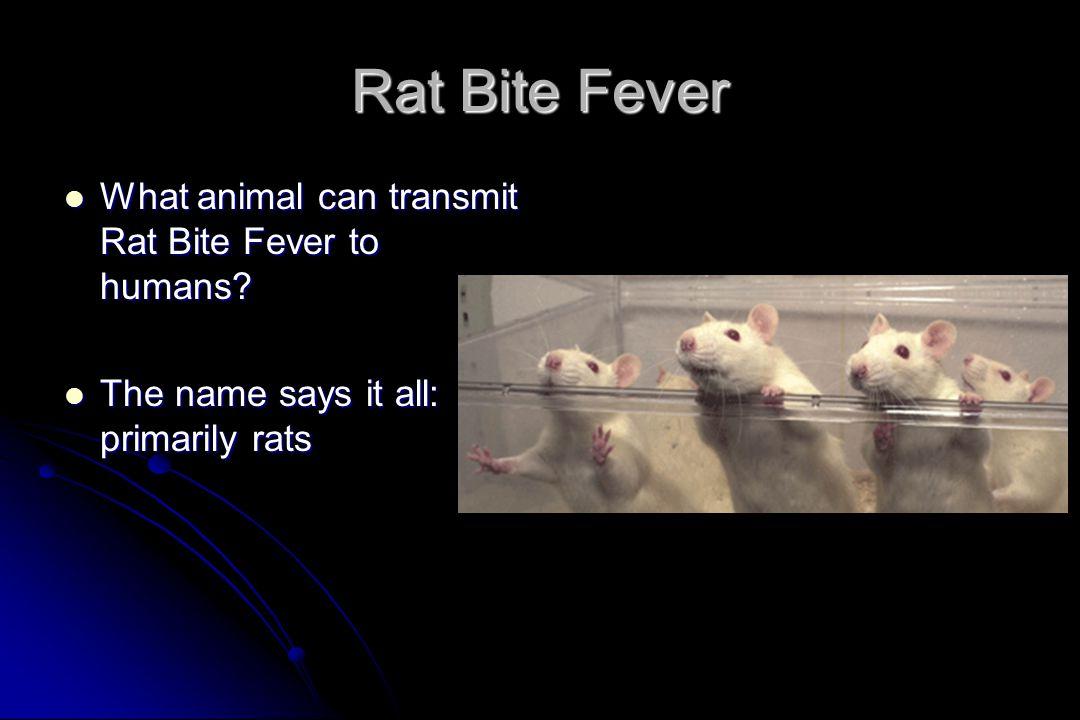 Rat Bite Fever What animal can transmit Rat Bite Fever to humans
