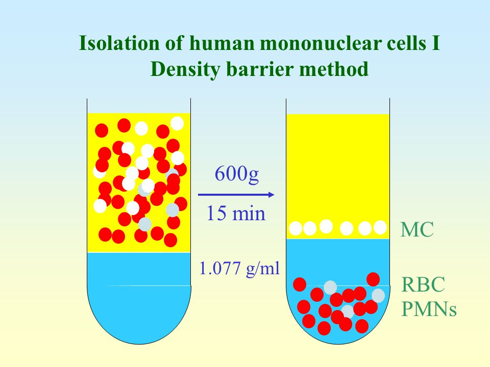 Isolation of human mononuclear cells I Density barrier method
