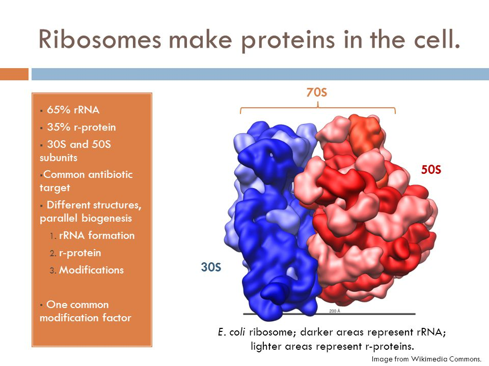 Ribosomes make proteins in the cell.