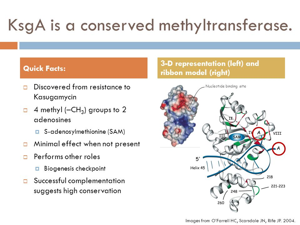 KsgA is a conserved methyltransferase.