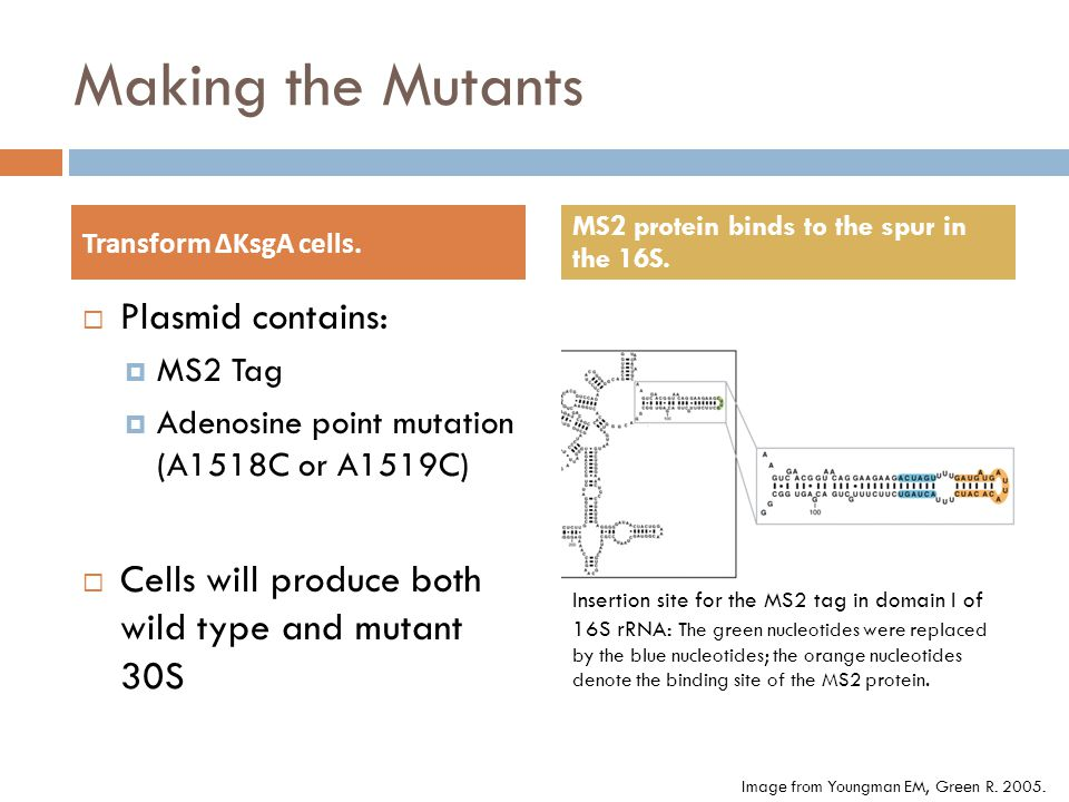 Making the Mutants Plasmid contains: