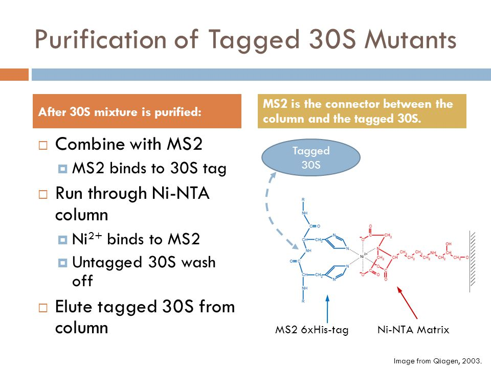 Purification of Tagged 30S Mutants