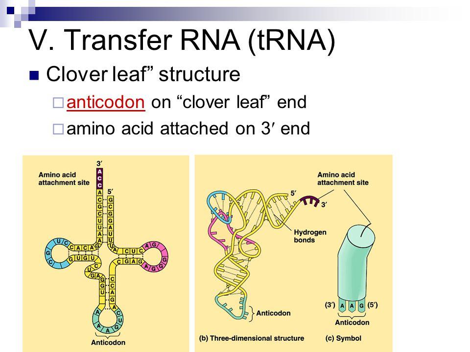 V. Transfer RNA (tRNA) Clover leaf structure