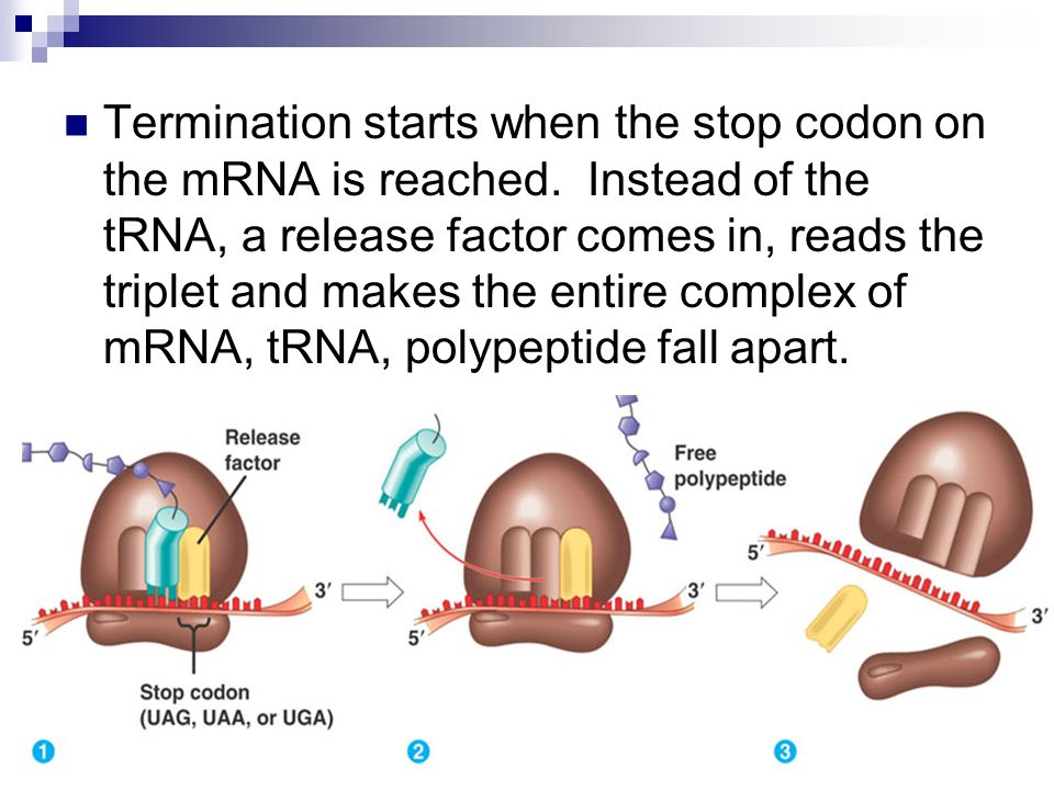 Termination starts when the stop codon on the mRNA is reached