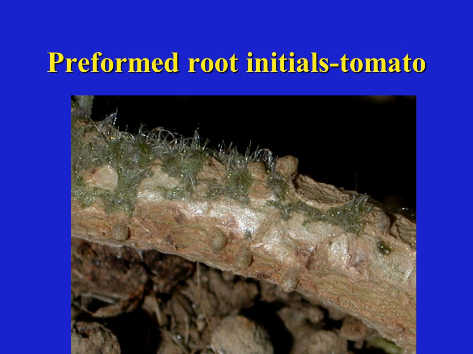 Preformed root initials-tomato