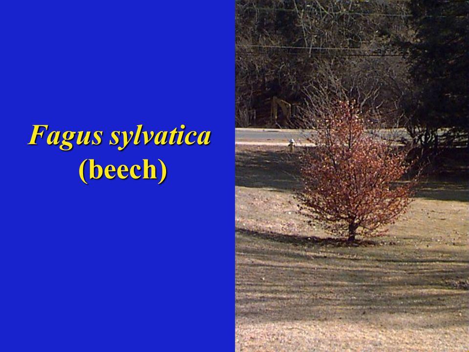 Fagus sylvatica (beech)