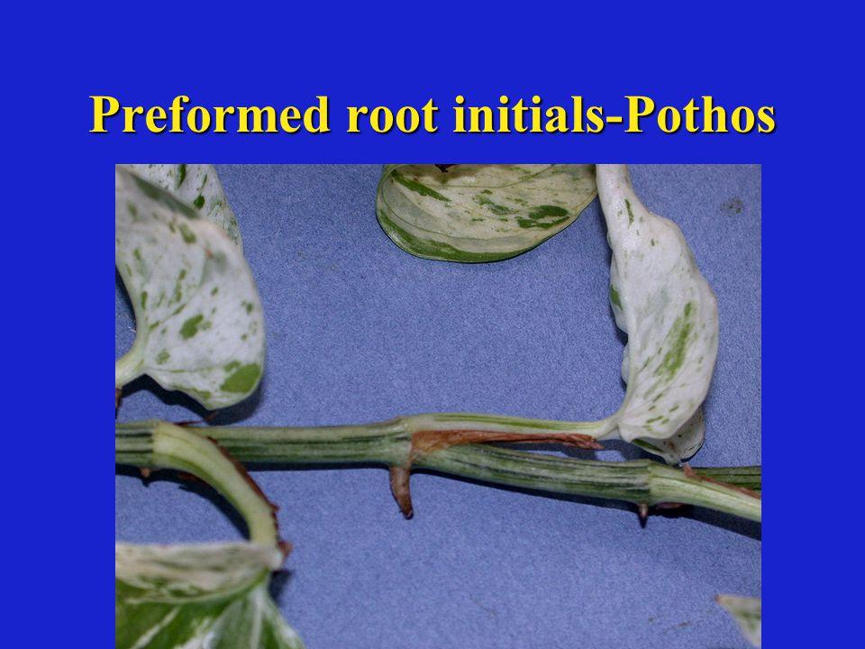 Preformed root initials-Pothos