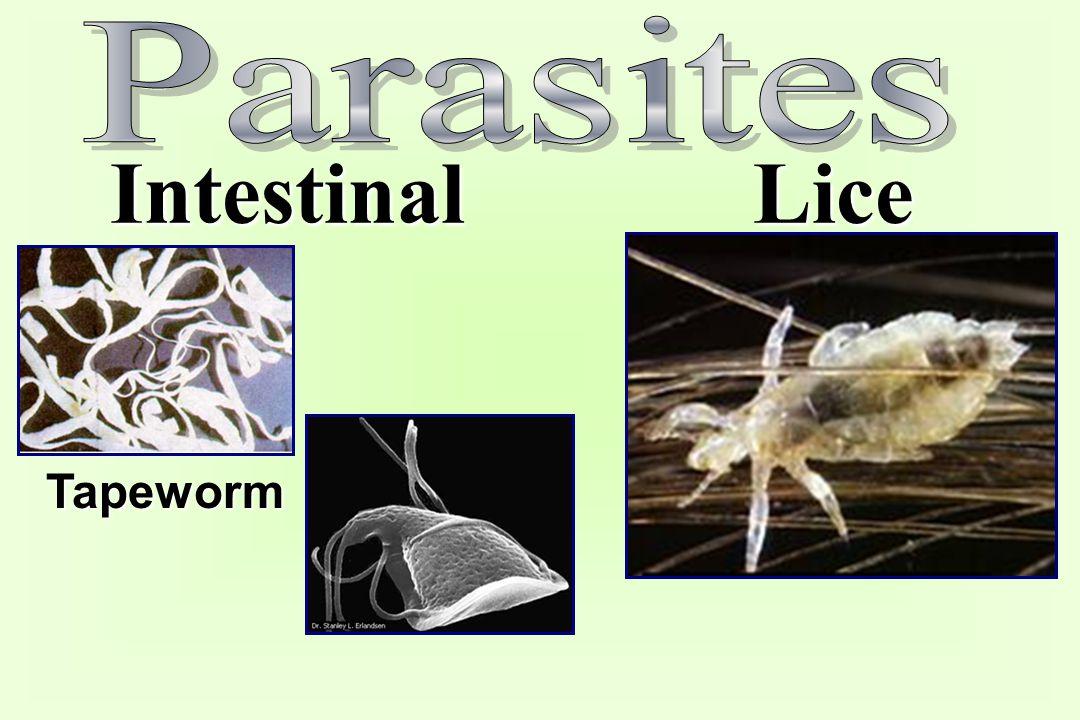 Parasites Intestinal Lice Tapeworm