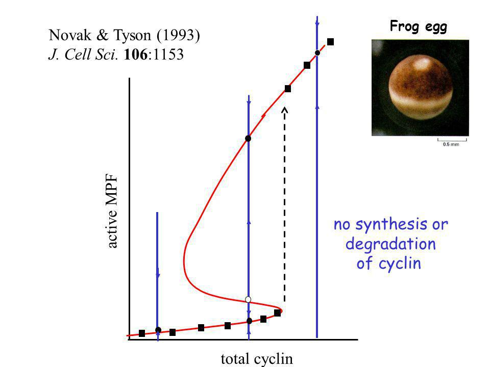 Novak & Tyson (1993) J. Cell Sci. 106:1153 active MPF no synthesis or