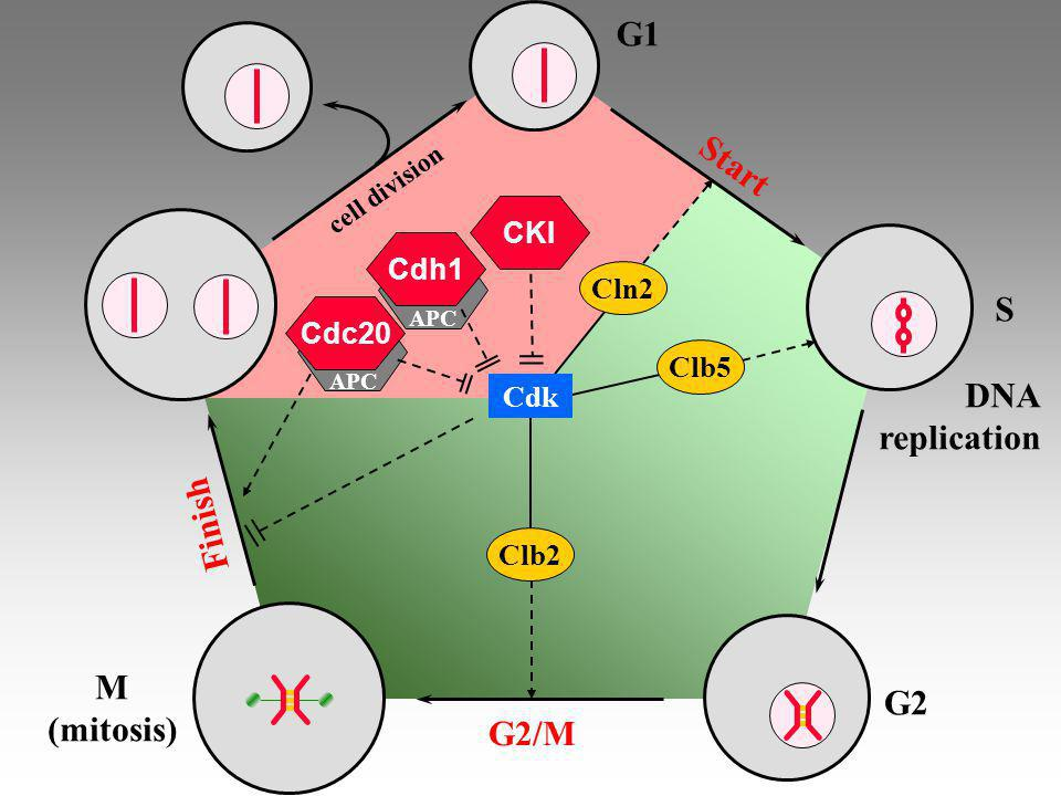 G1 Start S DNA replication Finish M G2 (mitosis) G2/M CKI Cdh1 Cln2