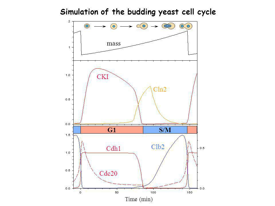 Simulation of the budding yeast cell cycle