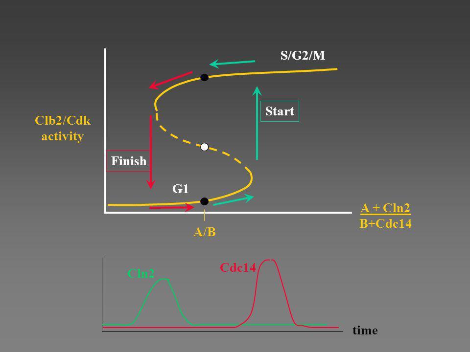 S/G2/M A/B Start Clb2/Cdk activity Finish G1 A + Cln2 B+Cdc14 time Cln2 Cdc14