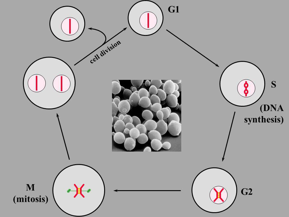 G1 cell division S (DNA synthesis) M (mitosis) G2