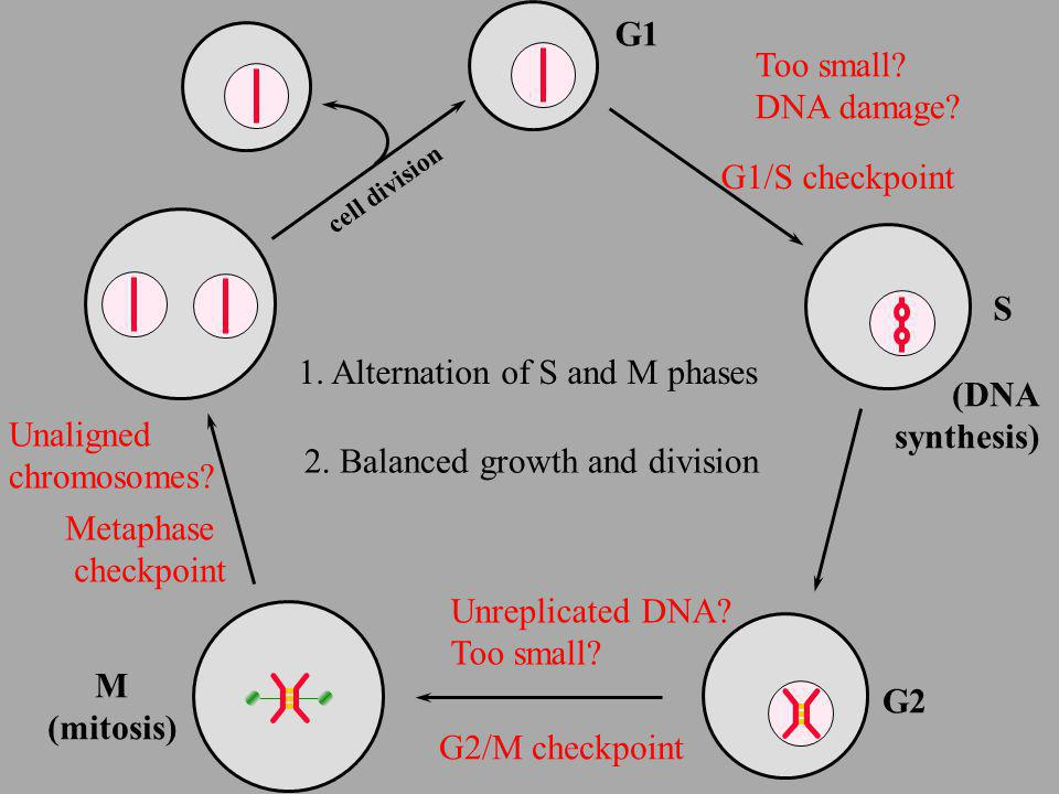 1. Alternation of S and M phases (DNA synthesis) Unaligned