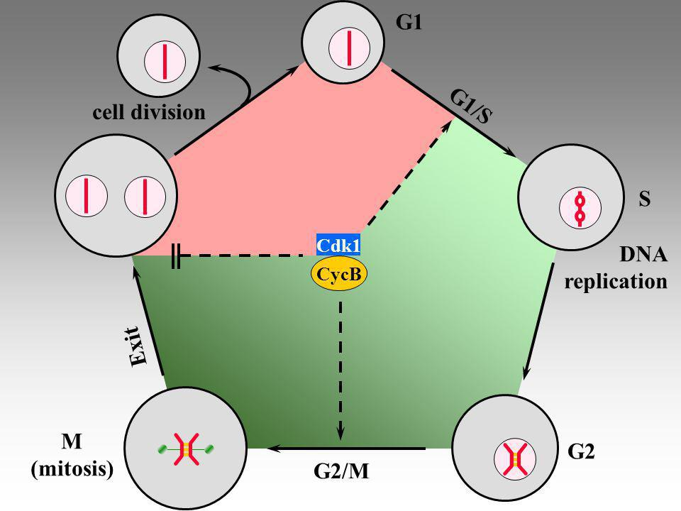 G1 G1/S cell division S DNA replication Exit M G2 (mitosis) G2/M Cdk1