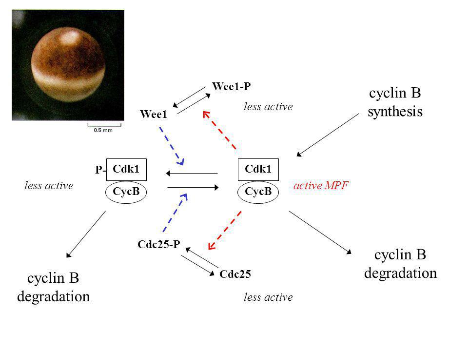 cyclin B synthesis cyclin B degradation cyclin B degradation Wee1-P