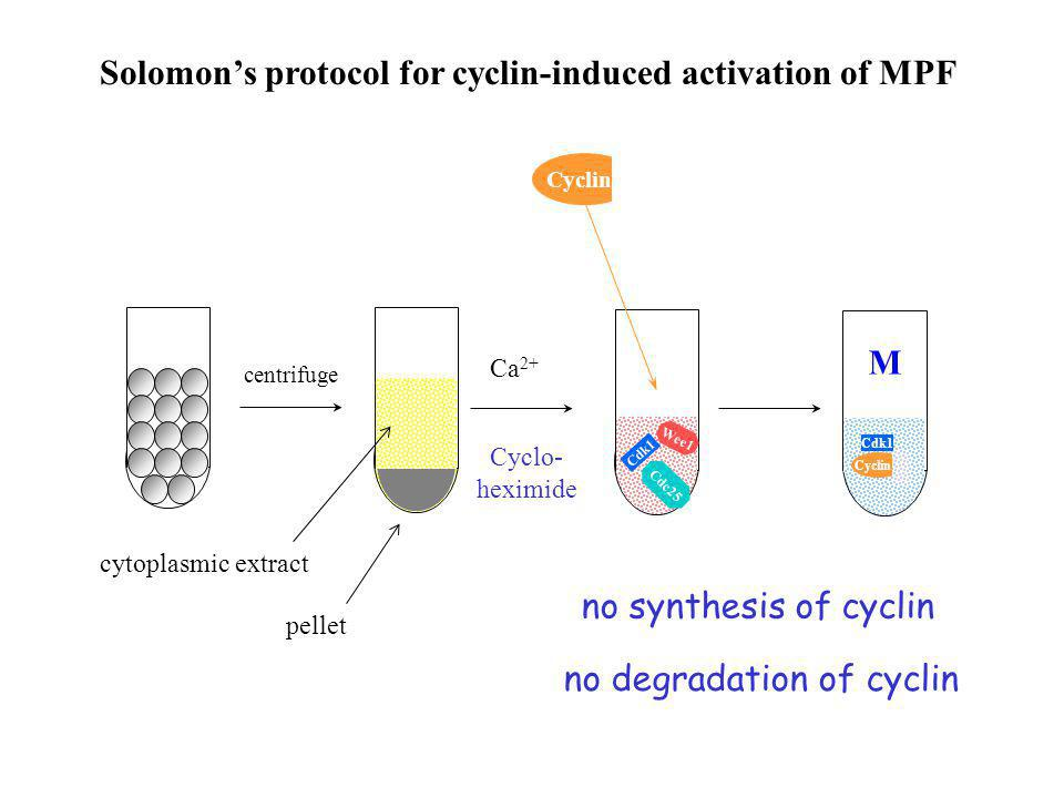 no degradation of cyclin