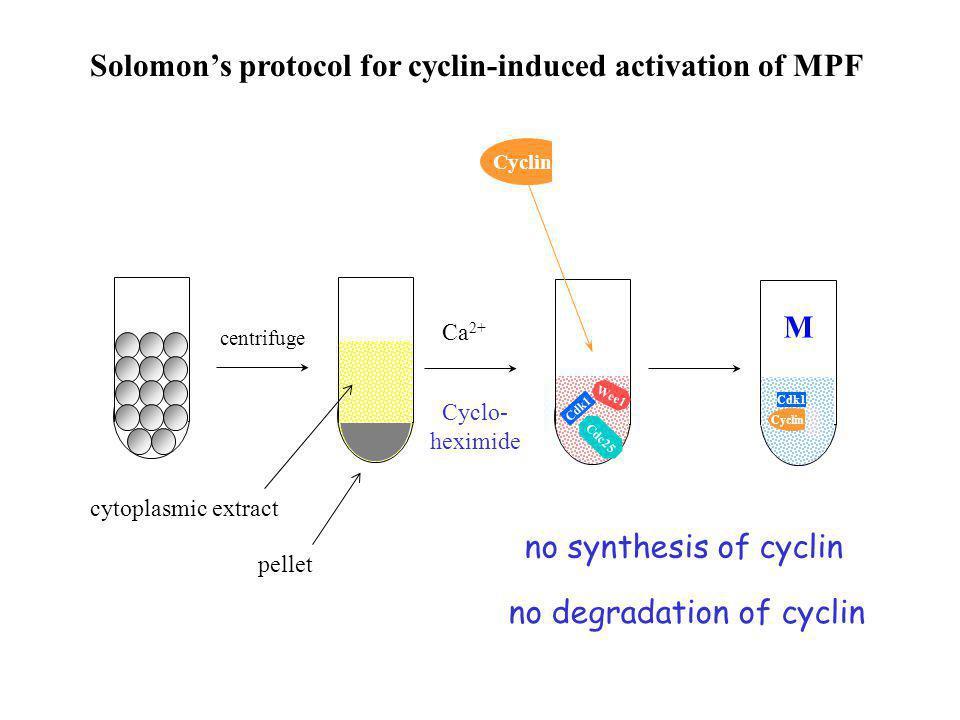 no degradation of cyclin