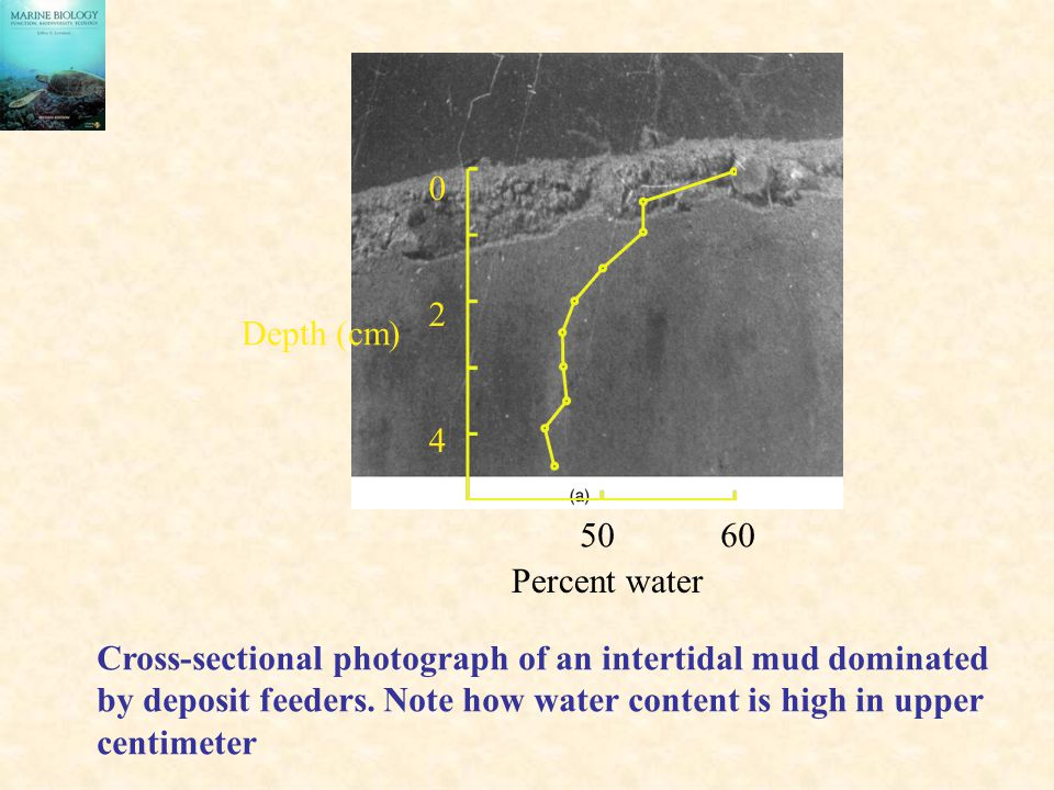2 4. Depth (cm) Percent water. Cross-sectional photograph of an intertidal mud dominated.