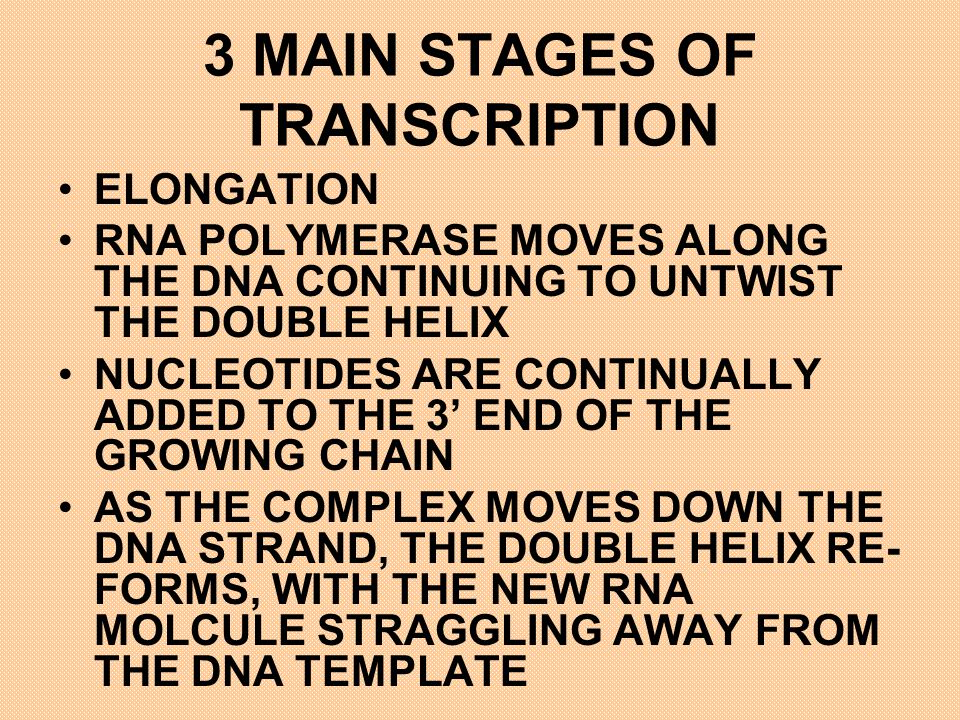 3 MAIN STAGES OF TRANSCRIPTION