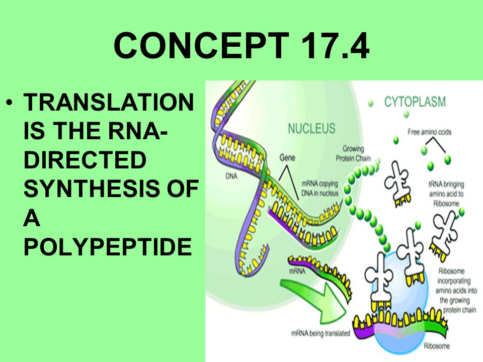 CONCEPT 17.4 TRANSLATION IS THE RNA-DIRECTED SYNTHESIS OF A POLYPEPTIDE