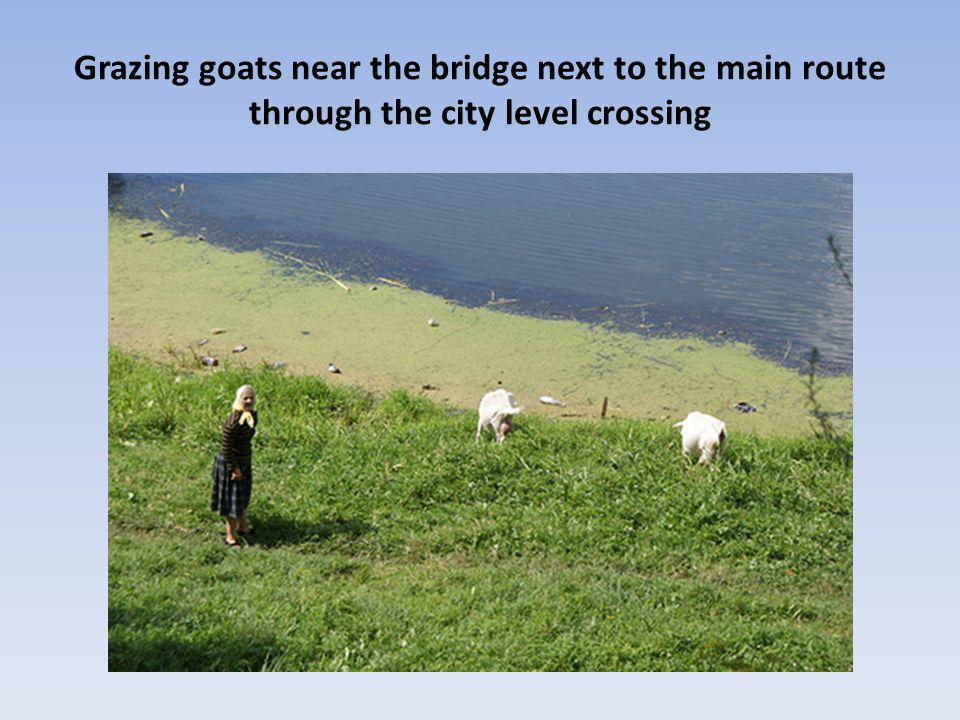 Grazing goats near the bridge next to the main route through the city level crossing