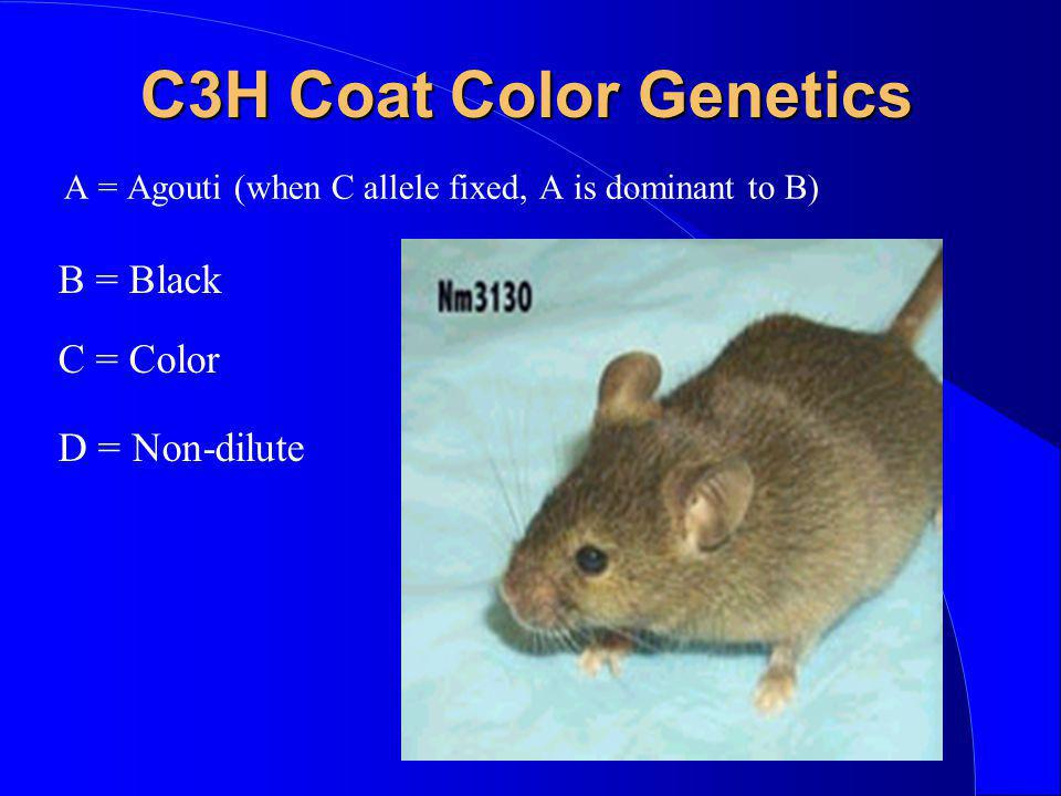 C3H Coat Color Genetics B = Black C = Color D = Non-dilute