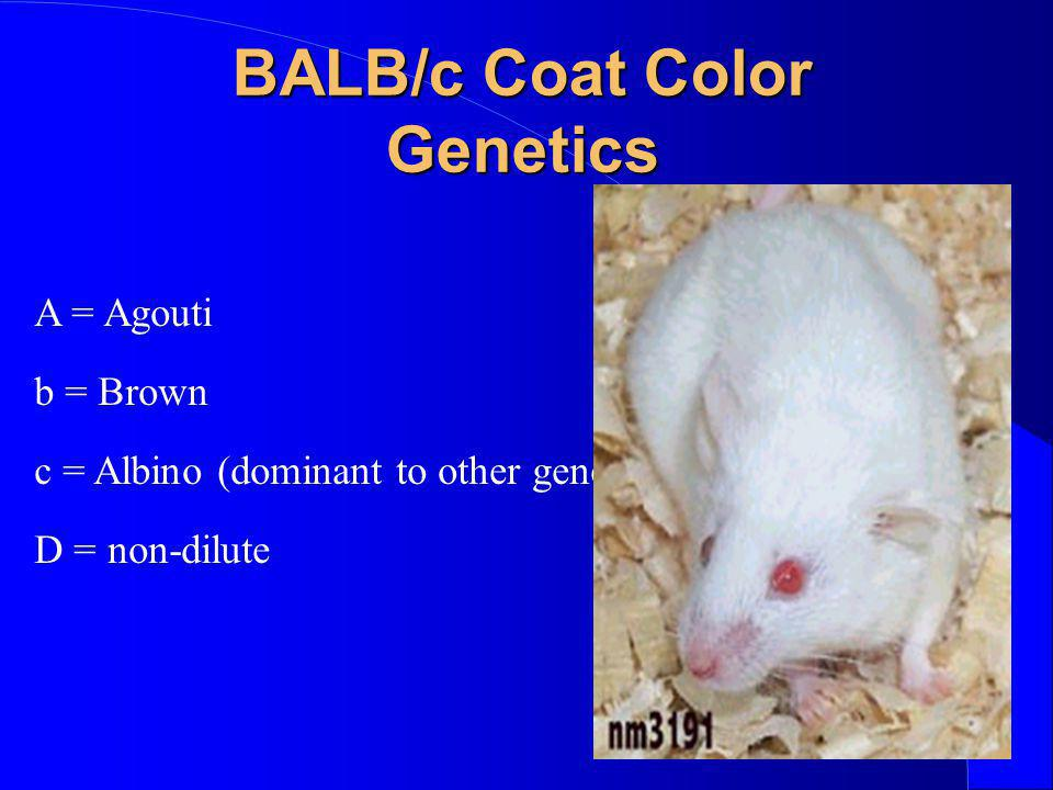 BALB/c Coat Color Genetics