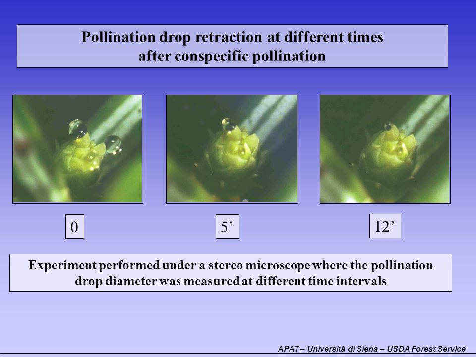 Pollination drop retraction at different times