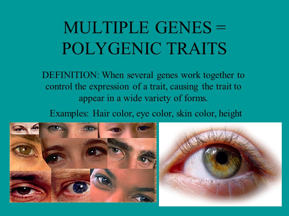 MULTIPLE GENES = POLYGENIC TRAITS