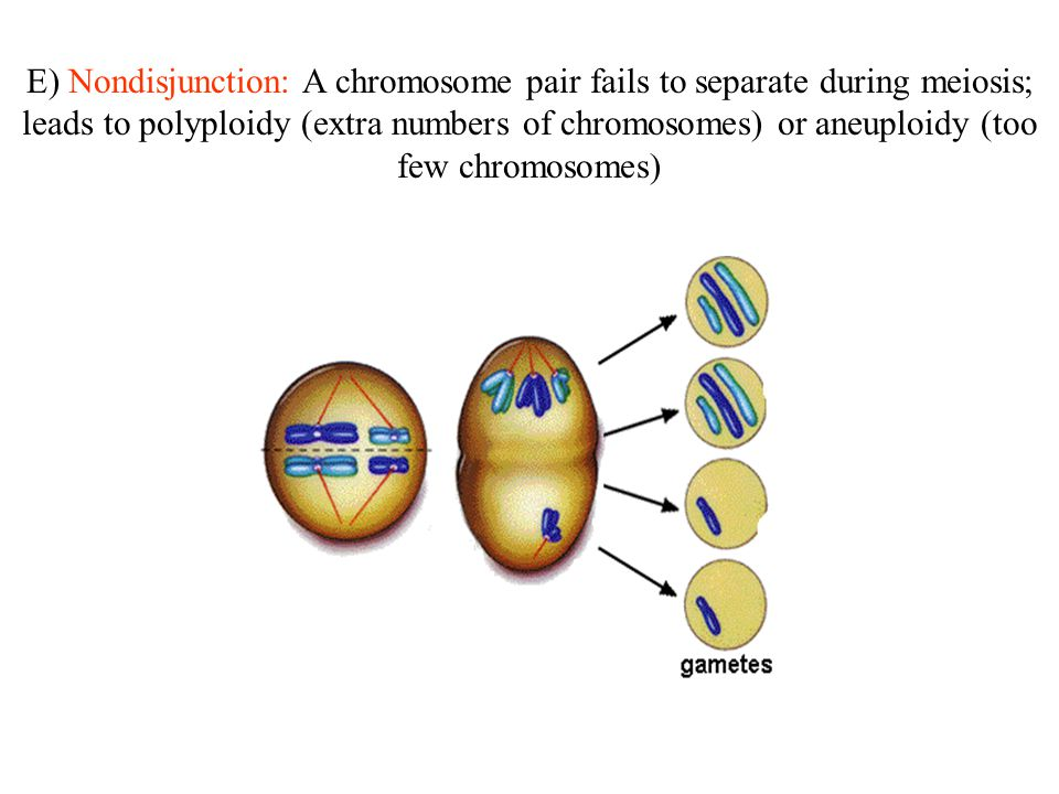 E) Nondisjunction: A chromosome pair fails to separate during meiosis; leads to polyploidy (extra numbers of chromosomes) or aneuploidy (too few chromosomes)