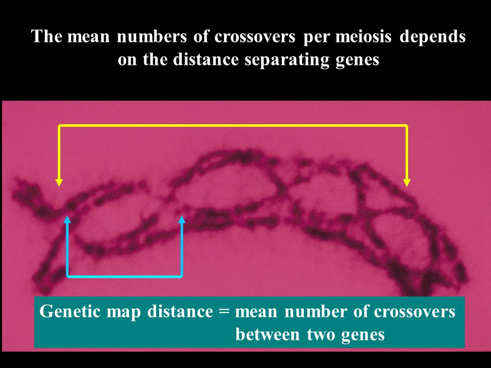The mean numbers of crossovers per meiosis depends