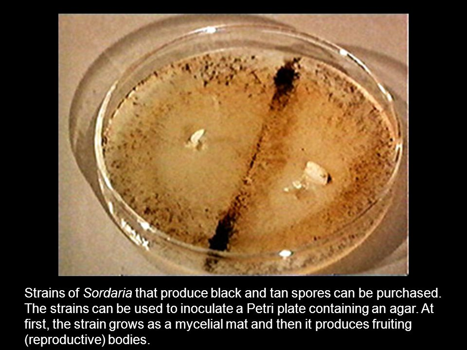Strains of Sordaria that produce black and tan spores can be purchased