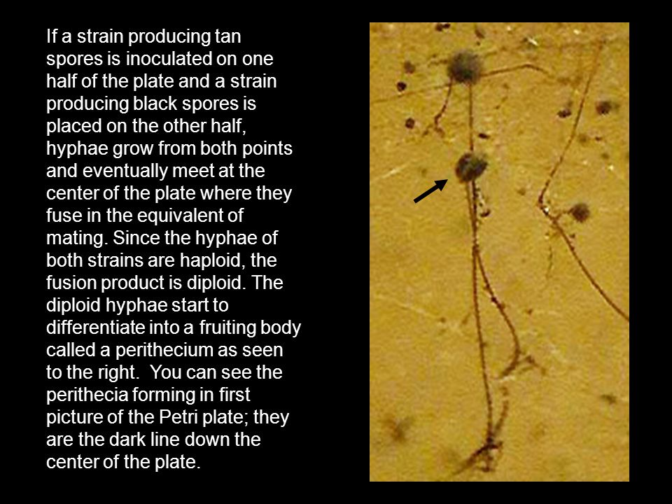 If a strain producing tan spores is inoculated on one half of the plate and a strain producing black spores is placed on the other half, hyphae grow from both points and eventually meet at the center of the plate where they fuse in the equivalent of mating.