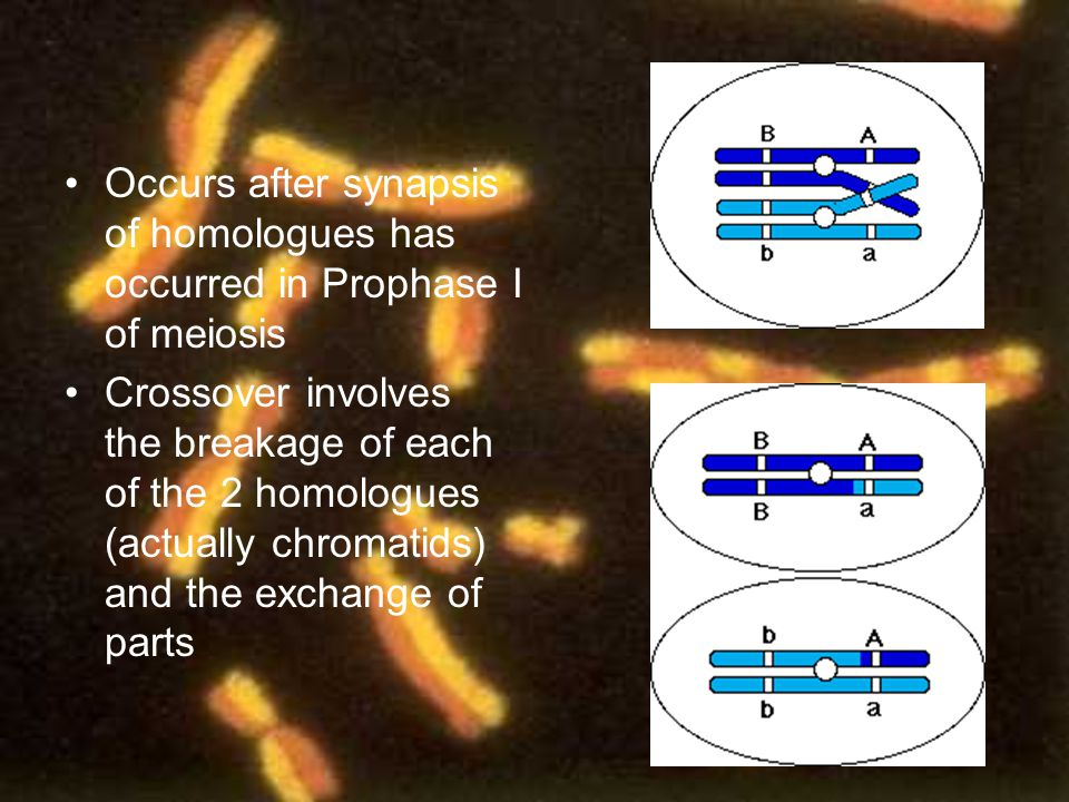Occurs after synapsis of homologues has occurred in Prophase I of meiosis
