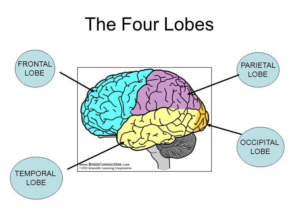 The Four Lobes FRONTAL LOBE PARIETAL LOBE OCCIPITAL LOBE TEMPORAL LOBE