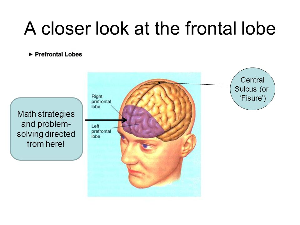 A closer look at the frontal lobe