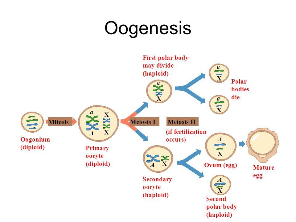 Oogenesis Oogonium (diploid) Mitosis Primary oocyte Meiosis I